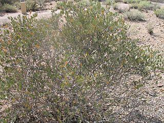 Jojoba species of plant, jojoba