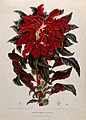 Joseph's Coat (Amaranthus tricolor L.); leafy shoot with flo Wellcome V0042679.jpg