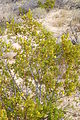 Joshua Tree National Park - Larrea tridentata - 3.JPG