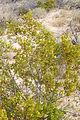 Joshua Tree National Park - Larrea tridentata - 3.JPG