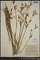 Juncus canadensis herbarium (01).jpeg