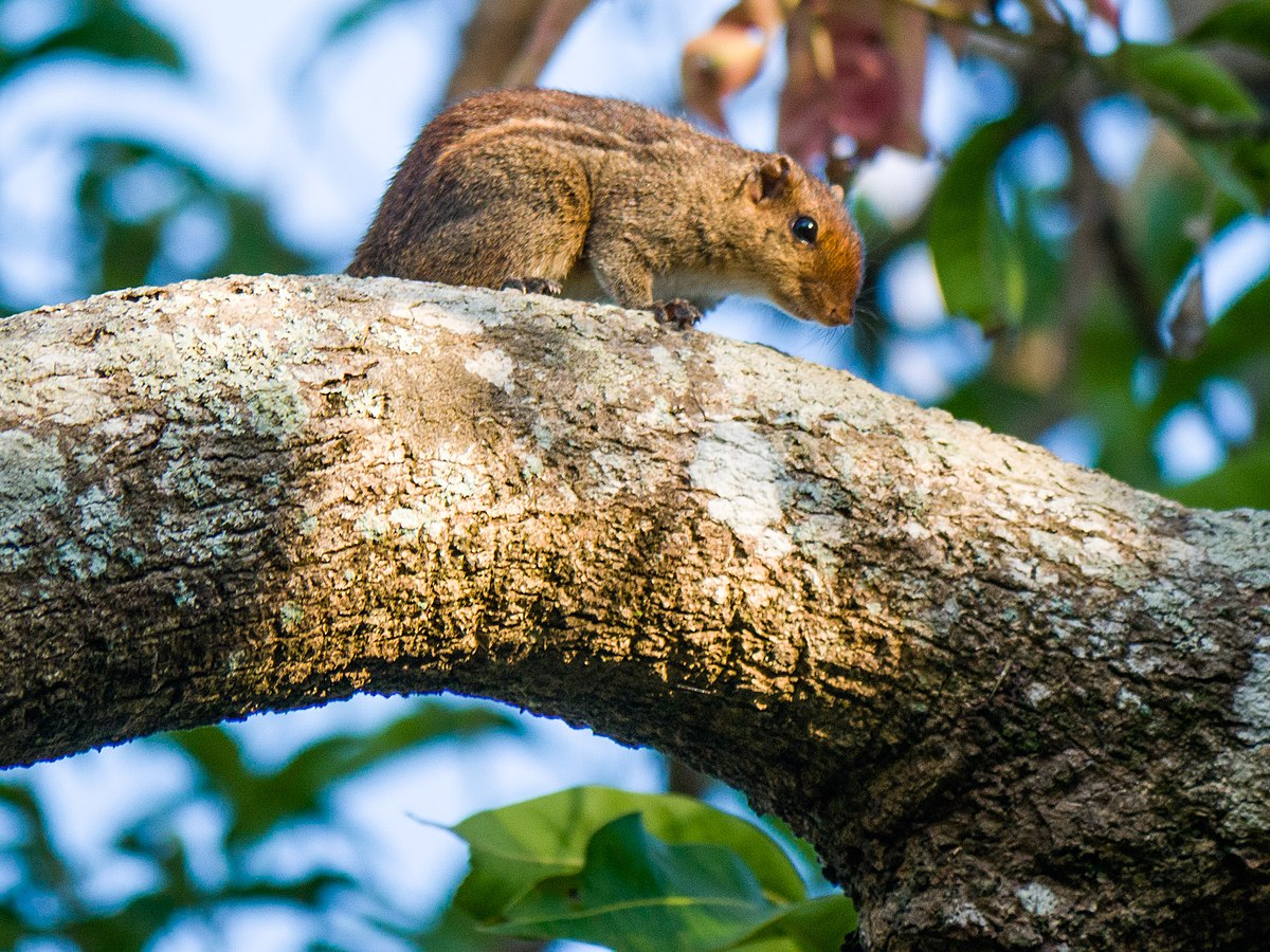 jungle palm squirrel wikipedia