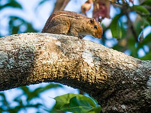 Jungle Striped Squirrel - Funambulus tristriatus.jpg
