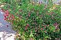 Justicia brandegeeana - Marie Selby Botanical Gardens - Sarasota, Florida - DSC01638.jpg