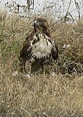 Juvenile hawk at Kern National Wildlife refuge.jpg
