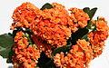 Kalanchoe blossfeldiana (forme horticole à fleurs doubles) - 4.jpg
