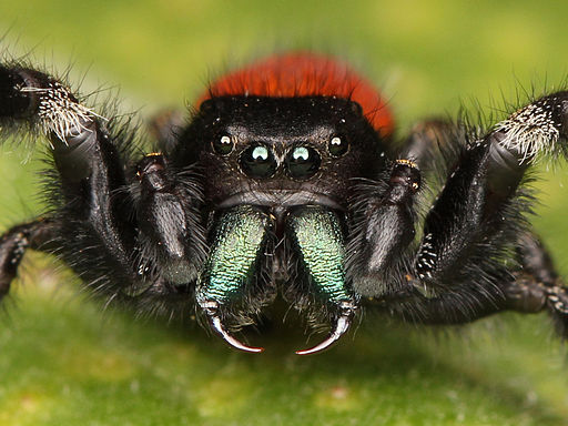Kaldari Phidippus johnsoni male defense
