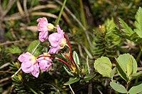 Kalmia microphylla 0605