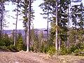 Kamesznica las w tle Barania Góra.JPG