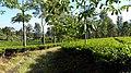 Kebun Teh di Puncak, Bogor (2).jpg