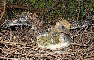 New Zealand pigeon - A newly hatched Kereru chick