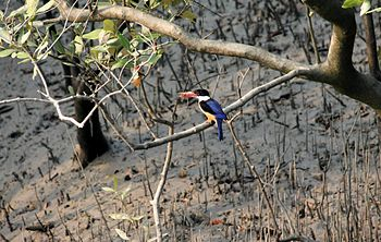 Kingfisher of Sunderbans.jpg