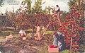 Kittitas Valley WA - Picking Apples (NBY 431870).jpg