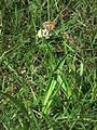 Kleiner orangefarbener Falter auf weißer Blüte.JPG