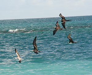 Kleptoparasitism - Great frigatebirds chasing a red-footed booby to steal its food