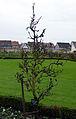 Kloster Seligenstadt, Klostergarten (Williams Christ Birne).jpg