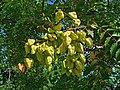 Koelreuteria paniculata 005.JPG