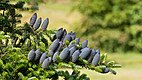 Korean fir - branch with cones.jpg