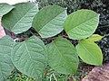 Korina 2014-09-24 Fallopia japonica.jpg