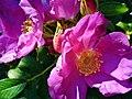 Kwiat dzikiej róży - panoramio.jpg