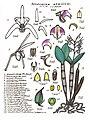 LR016 72dpi Dendrobium aemulum.jpg