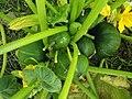 Laboratorio de calabazas - Cucurbita maxima var. zapallito Schering1 01 bush plant.JPG