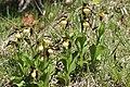 Lady's-Slipper Orchid - Cypripedium calceolus (14041394979).jpg