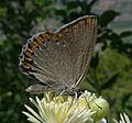 Laeosopis-roboris.JPG