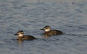 Lake duck - Females