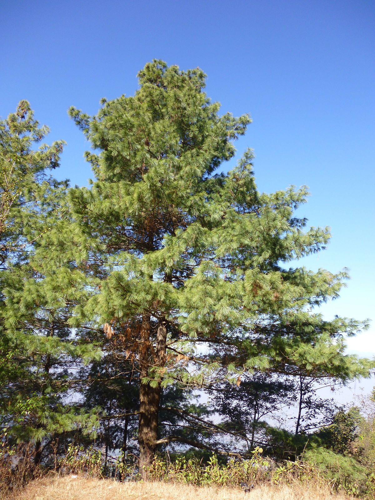 Pinus Wallichiana Wikispecies