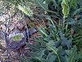 Lamarckia aurea HabitoEspiga 2008-4-15 DehesaBoyaldePuertollano.jpg