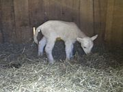 Lambs are born with long tails which are cut off once they reach a certain age.