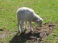 Lammetje (Nunspeet 2004).jpg