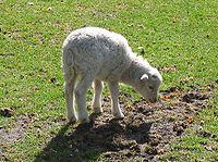 An unweaned lamb