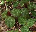 Large Toadshade Trillium cuneatum Plants 2200px.jpg