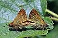 Large skippers (Ochlodes sylvanus) mating.jpg