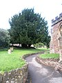 Large tree in Dunster churchyard - geograph.org.uk - 918943.jpg
