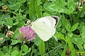 Large white (NH) (7822408808).jpg