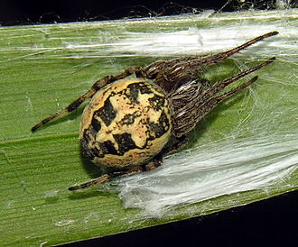 Glossary of spider terms - Larinioides cornutus spider showing folium on abdomen