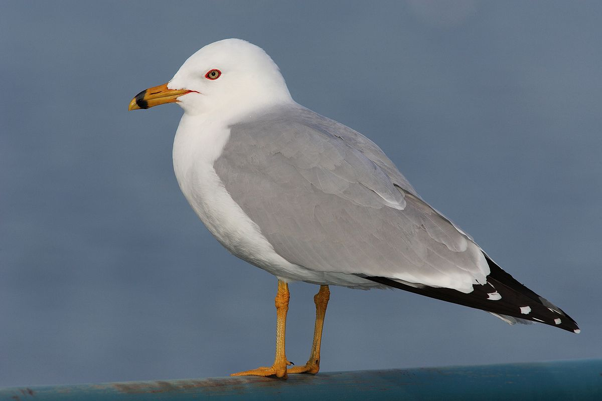 Larus Delawarensis Ring Billed Gull