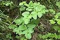 Laserpitium latifolium parfondru 02 25052008 1.jpg