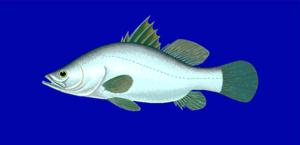 Lates - Nile perch (L. niloticus)