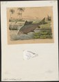 Lates niloticus - - Print - Iconographia Zoologica - Special Collections University of Amsterdam - UBA01 IZ12900085.tif