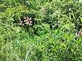 Lathyrus latifolius sl13.jpg