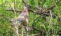 Laughing Dove (Streptopelia senegalensis) (6022220582).jpg