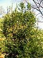 Laurus nobilis (3).JPG