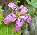 Lavatera assurgentiflora 5.jpg