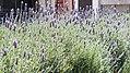 Lavender field in Mexico.jpg