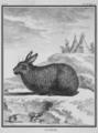 Le Riche argent - Silver domestic rabbit - Cuniculus argenteus - Gallica - ark 12148-btv1b2300253d-f54.png