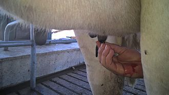 Hirudo medicinalis - treating mastitis of a cow with leech